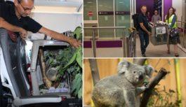 Se imaginan volar con un koala de pasajero