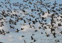 Tocumen en alerta ante inicio de migración de aves